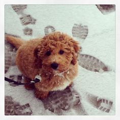 Teddy Sparkles - Medium F1b Goldendoodle from Abounding Grace Doodles