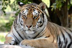 tiger by Lu . - Photo 74561921 - 500px