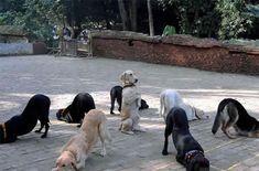 http://petfriendlysites.com/petfriendlysites/dogs-doing-yoga/