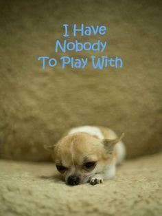 This lonely Chihuahua puppy wants a playmate...would you be willing? #Chihuahua