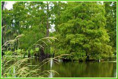 Bayou Scenery | Bayou scene
