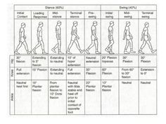 great image of swing and stance phase of the gait cycle   Physical ...