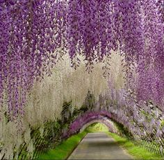 let's escape for a while. Wisteria Tunnel at Kawachi Fuji Garden, Japan let's escape for a while. Wisteria Tunnel at Kawachi Fuji Garden, Japan let's escape for a while. Wisteria Tunnel at Kawachi Fuji Garden, Japan Wisteria Tunnel Japan, Wisteria Garden, Purple Wisteria, Wisteria Tree, Purple Flowers, Chinese Wisteria, Wisteria Wedding, Cascading Flowers, Garden Wedding