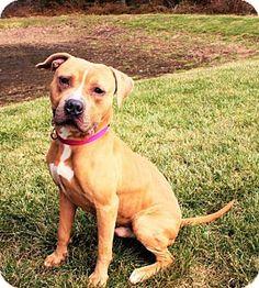 Westampton, NJ - American Staffordshire Terrier. Meet Nino D-68821, a dog for adoption. http://www.adoptapet.com/pet/15068684-westampton-new-jersey-american-staffordshire-terrier