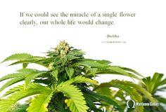 "Quote about marijuana by Buddha ""If we could see the miracle of a single flower clearly, our whole life would change."" #marijuana #edible #weed #kush #kushypunch #medicalmarijuana #mmj #maryjane #medicalmmj #stoned #gethigh #cannabis #420 #californiakush http://kushypunch.com/"