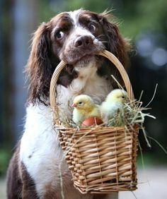 Jess the Springer Spaniel gently carrying a basket of chicks at her farm on the edge of Dartmoor, Devon.