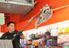 NYPD escorting a raccoon out of a beauty salon #Cute