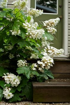 oak leaf hydrangea Grows to feet tall. Garden Shrubs, Garden Pool, Shade Garden, Garden Plants, Modern Landscaping, Landscaping Plants, Oak Leaf Hydrangea, Hydrangea Quercifolia, Different Plants
