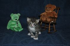 ~Tails from the Foster Kittens~: The kittens at three weeks - Picture Day