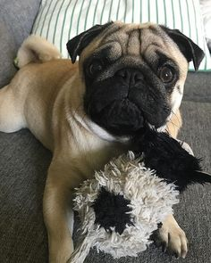 #Repost @kjelleddie  I have two big loves in my life. One of them is stupidmum but my true number one is Mr Cow. Me Cow is amazing and I love him like pancakes loves icecream.  #crazypants #dog #dogs #dogstagram #dogoftheday #pug #pugs #pugstagram #pugsofinstagram #obsessedwithpugs #pugsnotdrugs #pets #petstagram #animals #food #love #cow #pancakes #mum #icecream #darklordpug #squishyfacecrew #photooftheday  #flatnosedogsociety #truelove