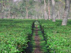 Incredible #Dooars Tea Garden near at Alipurduar Junction #photography