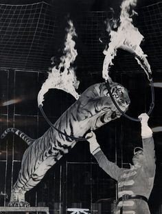 Tiger's Leap, 1962    Circuses — Ringling Bros. Barnum and Bailey