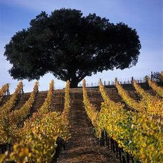 Mumm Cuvee Napa's Devaux Vineyard at sunrise during peak fall colors in the Carneros region of Napa Valley, Californi