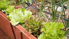 Conoce las mejores asociaciones en tu huerto para que las plantas no compitan entre sí por los recursos y se ayuden entre ellas para luchar con las plagas 🍅🥕