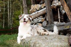 Australian shepherd Aira