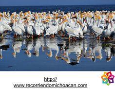 """Michoacán te menciona: El Lago de Chapala se enorgullece cada año en recibir al """"Pelícano Blanco"""", conocido, como Pelícano Borregón, se caracteriza por ser una ave con un peso de 7.75 kg y una extensión de 3 metros en sus alas de punta a punta."""