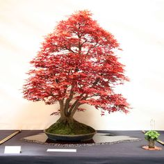 bonsai acer palmatum - Google'da Ara