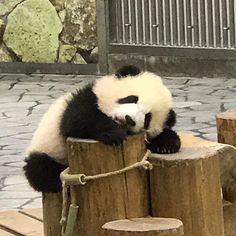 I is tired of playing so I is resting now. Wild Animals Attack, Animal Attack, Cute Baby Animals, Funny Animals, Panda Family, Panda's Dream, Panda Wallpapers, Cute Animal Memes, Cute Panda