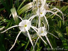 Beautiful white spider lily flowers in an outdoor garden center. Lily Pictures, Lily Bloom, White Plants, Plant Sale, Growing Flowers, Flower Wallpaper, Background Patterns, Paper Flowers, Spider
