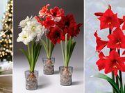 Minden az amarillisz gondozásáról Amarillis, Indoor Plants, Aloe, Glass Vase, Floral, Garden, Flowers, Outdoor, Decor
