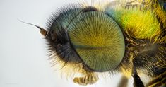 Hairy Eyes - 121 focus stacked photos, 10x magnification, unknown little fly species