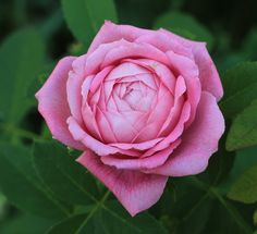 'Mme Knorr' – Verdier (1855) – AGM 1993. Portland. Occasionele herbloei. Dubbele roze bloemen (10cm) met donkerder centrum en lichtere onderkant. Heerlijke geur. Mat, middengroen loof. Gezond. 120cm x 90cm.