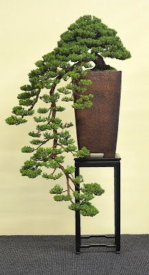 Bonsai - Living Art: International Bonsai and Kusamono Exhibition Hallein 2013 Cascade with tall container shows off the fall Indoor Bonsai Tree, Bonsai Plants, Bonsai Garden, Indoor Plants, Bonsai Trees, Indoor Gardening, Succulents Garden, Air Plants, Cactus Plants