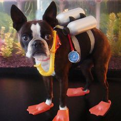 Scuba Diver Boston Terrier