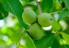 Allergic to Walnut (Juglans)? Research Walnut (Juglans) genus details, photos and seasonal allergies Seasonal Allergies, Russian Recipes, Detox, Vogue, Fruit, Health, Vegan Food, Vegetables, Animals
