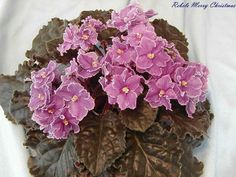 African Violet Plant Rebel/'s Merry Christmas