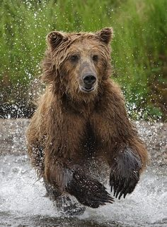 Why your mother probably should not be told about wilderness camping trips.  Exhibit #1 - Grizzly Bears  A) Speed:  Can accelerate from 0-35 mph faster than a high performance automobile;   B) Size:  Up to 8 ft. in ht. when standing upright and can weigh in at over 1,500 lbs.  C)  Helicopter Parent:    Over-protective, collosal badass when encountered with cubs.  Exhibit #2 - Grizzly Cubs  A)  Adorable creatures, but never far from Exhibit#1  Solution:  Hotel (Free= Mom will pay)