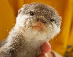...welll, little baby otters don't know they're so cute....