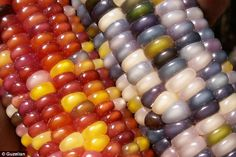 Contrast: The different varieties of Glass Gem can appear starkly divergent from one another