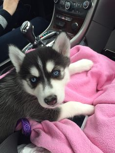 Cutest blue eyed husky puppy ever