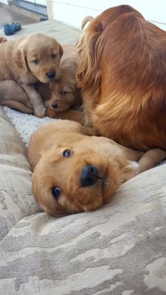 Embers golden retriever pups #goldenretriever