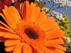 gerbera arancione-Fiori e piante 45