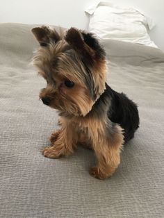 Yorkie Dogs, Puppies, Yorkies, Yorkshire Terrier, Cute Dogs, Cute Animals, Images, Babies, Pets