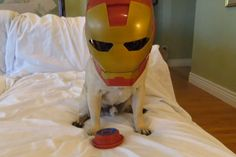 Also, a Pug wearing an Iron Man helmet...