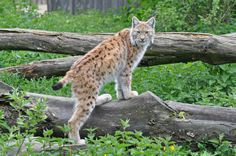 Eurasian lynx | Eurasian Lynx | Flickr - Photo Sharing!