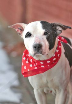 URGENT - Brooklyn Center   AMANDA - A0990959   FEMALE, BLACK / WHITE, PIT BULL MIX, 3 yrs  STRAY - STRAY WAIT, NO HOLD Reason STRAY  Intake condition NONE Intake Date 02/03/2014, From NY 11201, DueOut Date 02/06/2014   MAIN THREAD: https://www.facebook.com/photo.php?fbid=753299758016239&set=a.753092281370320.1073742936.152876678058553&type=3&theater
