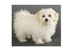 Maltese Dog Breed, Maltese Dog For Sale, Dogs For Sale, Whats Good, Yorkie, Ems, Dog Breeds, Malteser, Yorkies