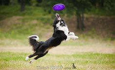 border collie frisbee dog | Dogs Gallery - Dogs At Play