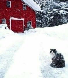 Red barn and a snowy kitty! I Love Snow, I Love Winter, Winter Snow, Winter Christmas, Christmas Thoughts, Christmas Scenes, Winter Colors, Country Barns, Country Life
