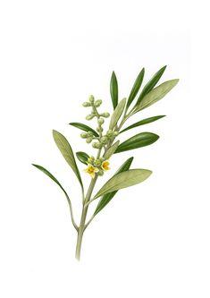 Botanical Illustrations #2 on Behance