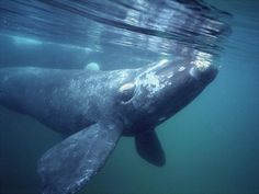 right whale - Yahoo Image Search Results