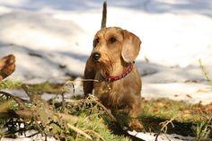 Strawberry dachshund