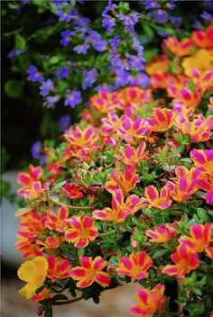 Colorful portulaca not a water hog - Pittsburgh Post-Gazette