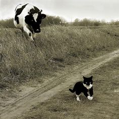 Cat and Cow, Cow and Cat