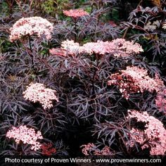Sambucus nigra 'Black Lace'Enjoy this dark and distinctive lacy foliage all season and soft pink early summer flowers. Season long color and texture. Black Lace Elderberry, Planting Flowers, Elderberry Plant, Plants, Flowering Shrubs, Foliage Plants, Shrubs, Shade Plants, Landscaping Plants
