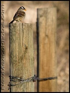 A white crowned sparrow sits on a fence post